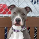 ♡ SAFE ♡ HARLEY aka LOLA – A1047413  ***RETURNED 04/25/16***  SPAYED FEMALE, GRAY / WHITE, AM PIT BULL TER MIX, 2 yrs, 8 mos DEF INT – EVALUAT