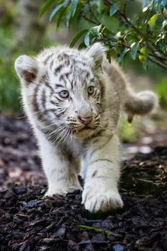 White tiger cub strut by Jean-Claude Sch. Big Cats, Cute Cats, Cats And Kittens, Beautiful Cats, Animals Beautiful, Cute Baby Animals, Animals And Pets, White Tiger Cubs, Baby White Tiger