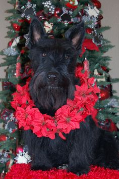 Scottish Terrier Merry Christmas Card Puppy Holiday Dogs Santa Claus Dog Puppies Xmas Scottie