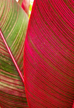 Red Ti Leaves                                                                                                                                                      More