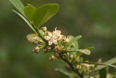 Erythroxylum Emarginatum flowers            Forest Coca Tree      Boskokaboom         1-9 m      S A no 249