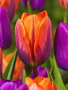 Orange and Hot pink with a touch of Green. Tulips are a lovely but delicate flower.