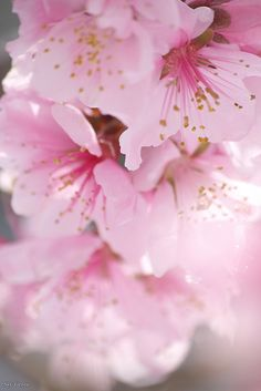 Pretty Pink Blossom Flowers