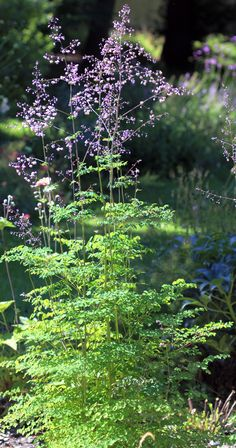 Thalictrum delavayi is a pretty perennial. From mid-summer to early autumn, it… Green Garden, Shade Garden, Garden Plants, Herbaceous Border, Herbaceous Perennials, Cut Flowers, White Flowers, Meadow Garden, Plant Images