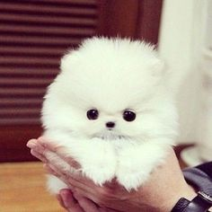 Teacup Pomeranian puppy Teacup Pomeranian puppy & Tribal & Teacup Pomeranian puppy Teacup Pomeranian puppy The post Teacup Pomeranian puppy Teacup Pomeranian puppy & Triba& appeared first on Elwood Kennels. Teacup Puppies, Cute Puppies, Cute Dogs, Teacup Yorkie, Cute Baby Animals, Animals And Pets, Funny Animals, Sweet Dogs, Cute Creatures
