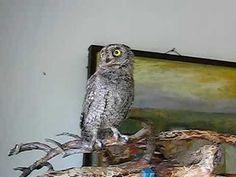 Video of an owl dancing.