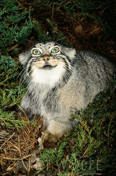 The closest living thing to a living Chesire cat, the bug-eyed, flat-headed Pallas cat has a most remarkable face. Native to parts of Centra...
