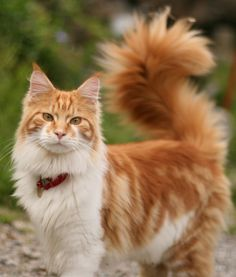 10 Maine Coon Cat Facts