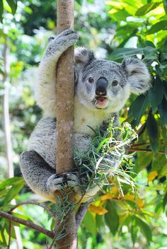 Lone Pine Koala Sanctuary, Brisbane, Australia- one of the most memorable experiences holding a koala!