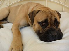 http://www.dogs-wallpapers.com/user-content/uploads/wall/o/98/bull_mastiff_laying_on_bed.jpg