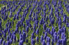 #bloom #blossom #field #flowers #grape hyacinth #muscari #nature #plants #spring
