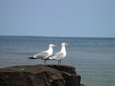Sea Gulls.  Some people think they're a pain, but I think they're cute!