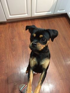 rottweiler pug mix pug and miniature pinscher muggin looks like a mini 1382