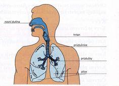 Dýchací soustava Masky, Petra, Biology, Anatomy, Ap Biology