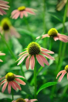 Coral echinacea with lime green centers