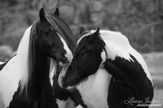 Gypsy Friends - Fine Art Horse Print - Black and White. Two Gypsy Vanners, the best of frends, play together in Greyrock, Wyoming.