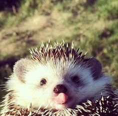 Hedgehog sticks his tongue out at you.