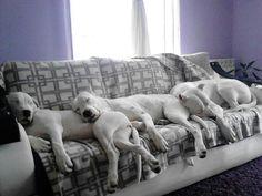 Dogo Argentino / Argentinian Mastiff, Argentine Dog Puppy Dogs