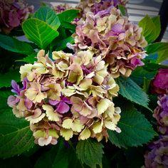 Types Of Hydrangeas, Hydrangea Macrophylla, Heavenly, Plants, Inspiration, Flowers, Biblical Inspiration, Hydrangeas, Flora