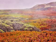 Flaming Ice by Caitlyn Grasso. The iceplant in this remote stretch of California coastland seems ablaze with color. The fog completes the illusion giving a hint of smoke.