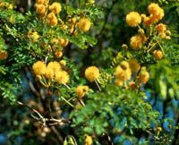 Texas Native Plants Database - Goldenball Leadtree