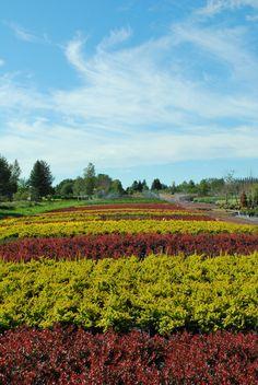 Berberis Vineyard, Outdoor, Shrubs, Outdoors, Vine Yard, Vineyard Vines, Outdoor Living, Garden