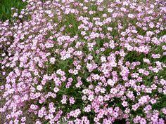 Gipskruid, gypsophila Rosenschleier. De bloemkleur is bleek roze en de bloeitijd is van ca. juni tot en met augustus. De bladeren zijn grijsgroen en ongeveer 10 cm. hoog. De volwassen hoogte van deze vaste plant is ca. 30 cm. Verdraag...