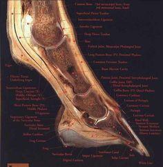 Anatomy of a horse hoof