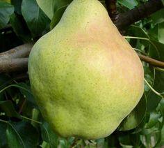 Euras   Zdravăn Pear, Plant, Bulb
