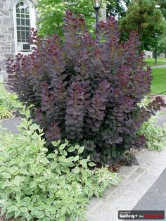Smoke bush - perennial - changes color with the seasons - its small flowers look like puffs of smoke over the purple leaves.