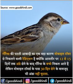 Sparrow in Hindi । गौरैया चिड़िया के बारे में 21 रोचक तथ्य - ←GazabHindi→ Some Amazing Facts, Interesting Facts About World, Unbelievable Facts, Wierd Facts, Wow Facts, Intresting Facts, Gernal Knowledge, General Knowledge Facts, Knowledge Quotes