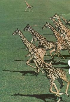 I never knew about giraffe racing