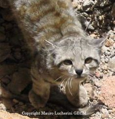 Andean Cat. This is one of the few  small wild cat species. Hunting is one of the biggest threats to this creature.