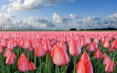 Tulips Town Flowers Hd Wallpaper