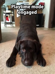 Mind Blowing Facts About Labrador Retrievers And Ideas. Amazing Facts About Labrador Retrievers And Ideas. Funny Animal Memes, Funny Animal Pictures, Dog Pictures, Funny Dogs, Funny Animals, Cute Animals, Animal Pics, Funny Memes, Hilarious
