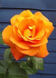 Dawn Chorus Hybrid Tea Rose | Rose Garden on Pinterest | Hybrid Tea Roses, Floribunda Roses and ...