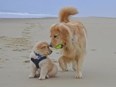 Golden Retriever Dog teaching the pup to retrieve Cute Puppies, Cute Dogs, Dogs And Puppies, Doggies, Cute Baby Animals, Funny Animals, Retriever Puppy, Pet Shop, Dog Grooming