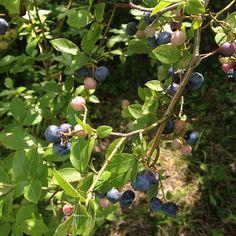 """@ariari0927's photo: """"実家のブルーベリーの木"""""""