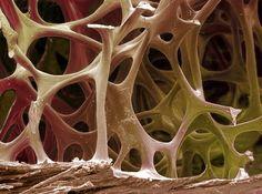 1-bird-bone-tissue-sem-steve-gschmeissner (1).jpg