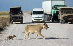 Lioness leads cub across road