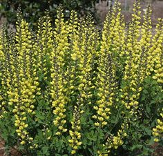 Baptisia 'Lemon Meringue' PP 24,280
