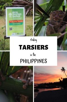 Finding the Tarsier in the Jungles of the Philippines - This Wild Life Of Mine Nocturnal Animals, Bohol, Responsible Travel, Tourist Trap, Jungles, Words To Describe, Wild Life, Exotic Pets, Southeast Asia