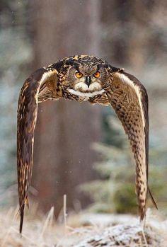 """Behold congenial Autumn comes, the Sabbath of the Year."" - John Logan, 1748 - 1788  Eurasian eagle owl in the colors of the season"