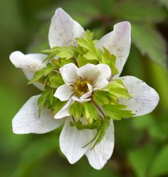 European Thimbleweed, Wood Anemone 'Green Fingers' (Anemone nemorosa) Unusual Flowers, Unusual Plants, Real Flowers, White Flowers, Beautiful Flowers, Wood Anemone, Anemone Flower, White Plants, All Plants