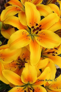 lillies (planted 2012) by Diane's Sweet Treats - (Diane Burke), via Flickr THE VERY NATURE OF  YELLOW