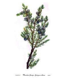 Mountain Juniper Tree Berries Juniperus Sibirea Vintage Home Decor 1955 Botanical Lithograph Art Pr Vintage Botanical Prints, Botanical Art, Botanical Illustration, Cocktail Illustration, Nature Tattoos, Body Art Tattoos, O Gin, Juniper Tree, Drawing Sketches