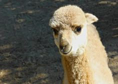 Are we going on a trip? Alpaca my bags! #puns