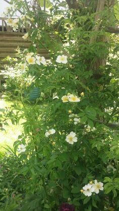 Märchengarten Rose