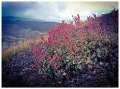 Rumex scutatus aetnensis - Etna. Photo by luca valenti — National Geographic Your Shot