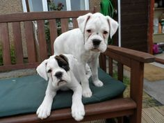 Lola and Ruby. Boxer dog puppies  :-)